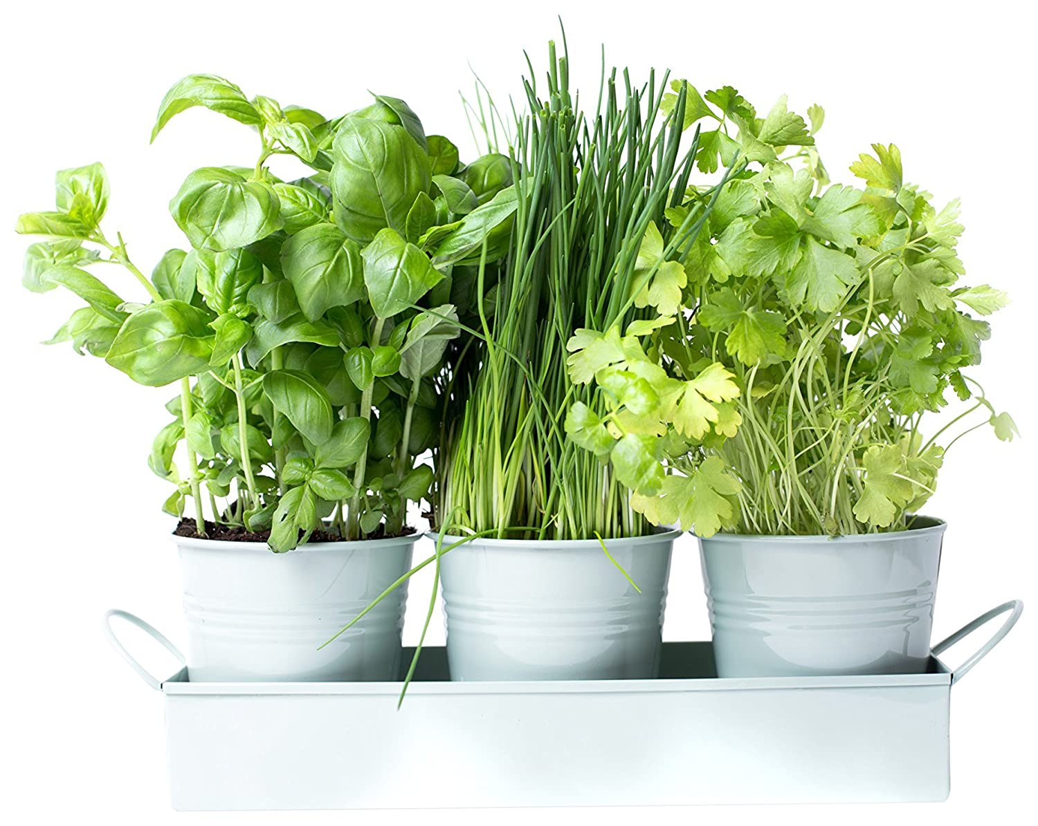 dill and mint Herb pots on a tray - great for growing herbs or flowers at home on your windowsill (Sea Green)