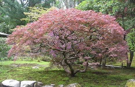 Amazoncom Laceleaf Japanese Maple Seeds 3 Dissectum Varieties