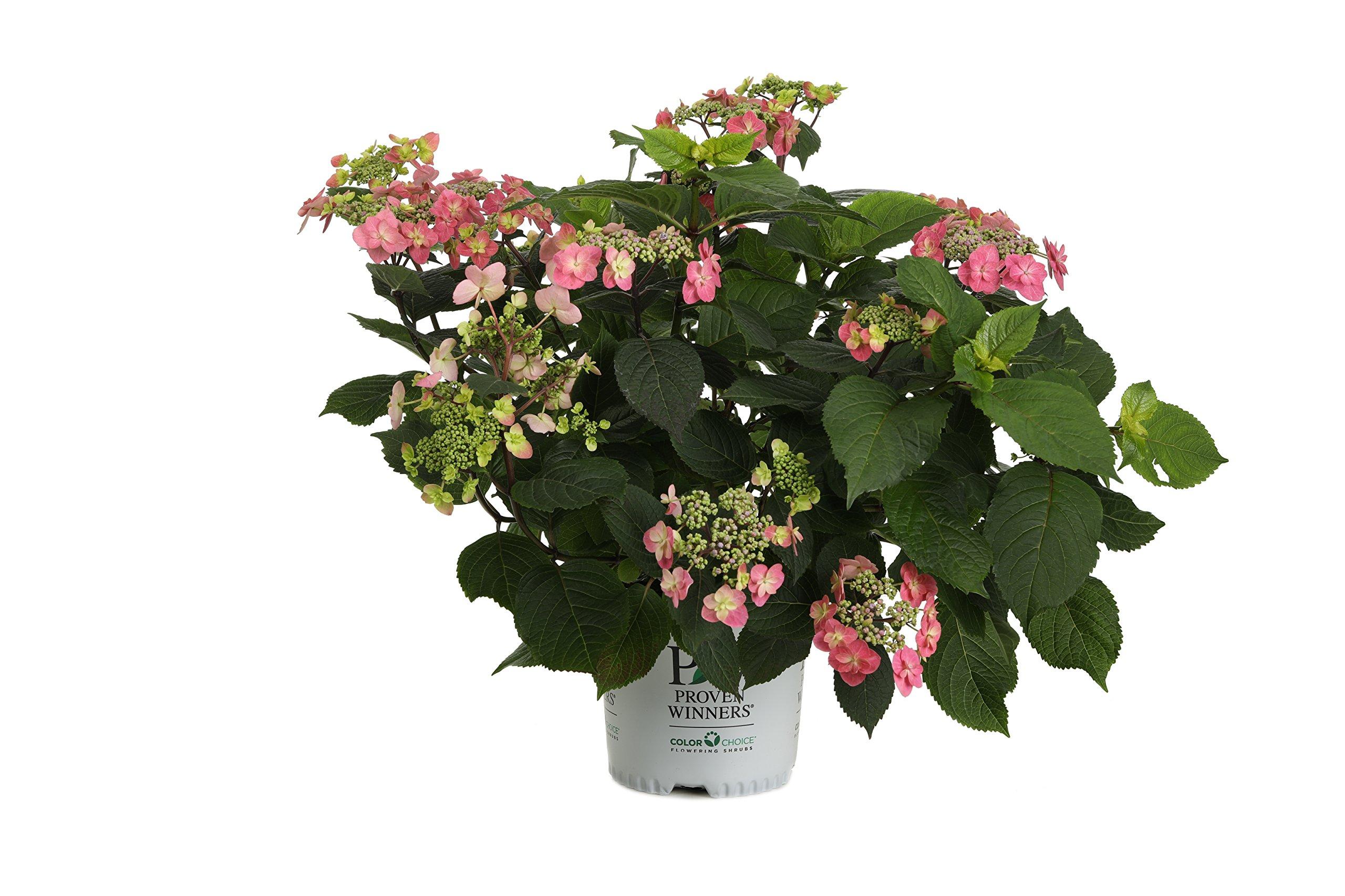 Tuff Stuff Red (Mountain Hydrangea) Live Shrub, Pink to Red Flowers, 1 Gallon