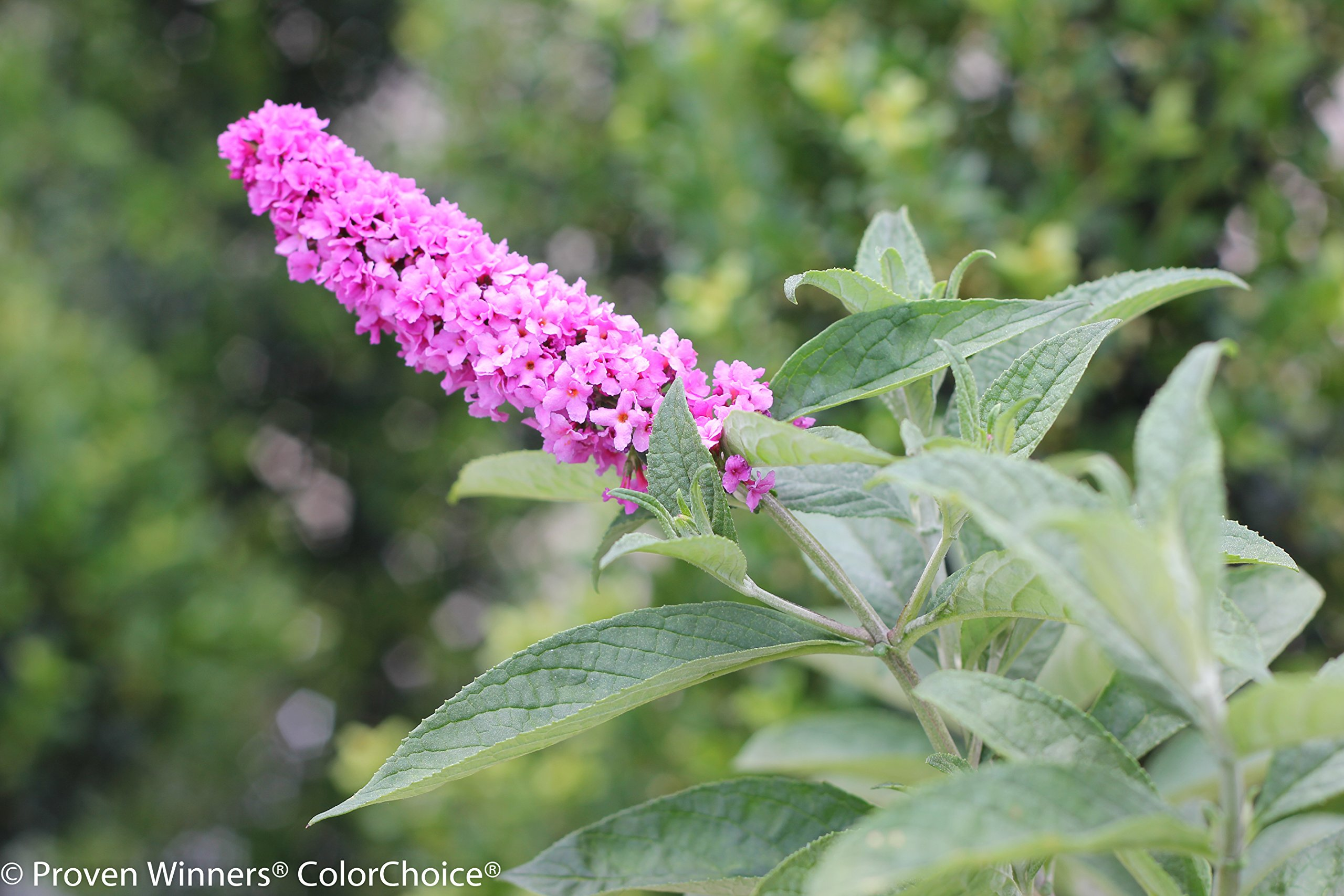 1 Gal. Lo & Behold 'Pink Micro Chip' Butterfly Bush (Buddleia) Live Shrub, Pink Flowers by Proven Winners (Image #6)