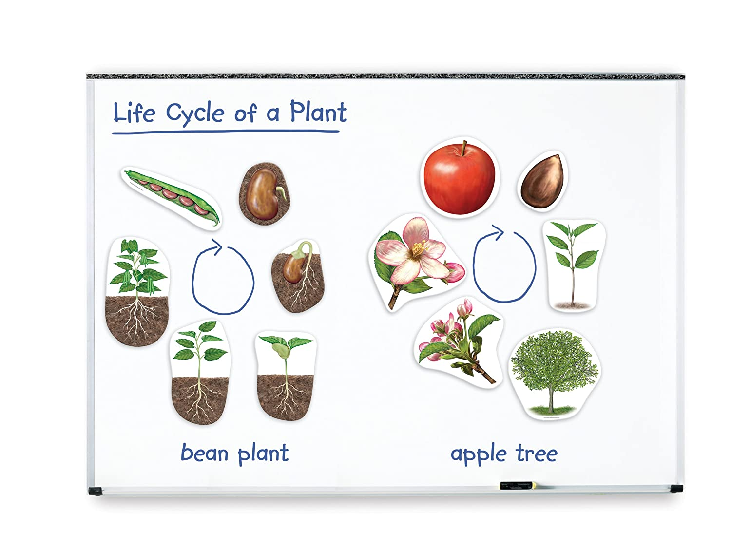 life cycle of a plant magnetic white board bulletin board