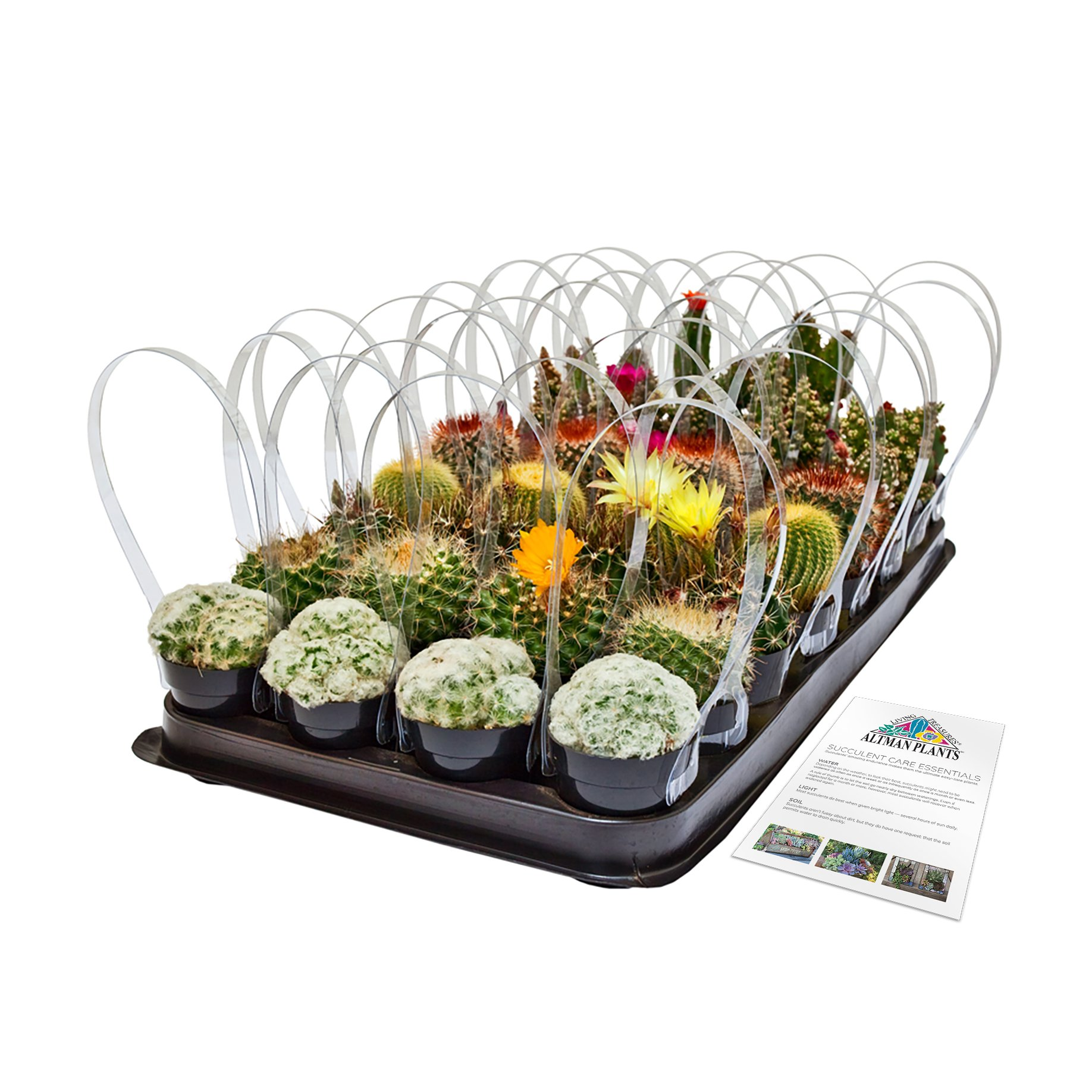 Altman Plants Assorted Cacti Tray 32 Pack, 2.5''