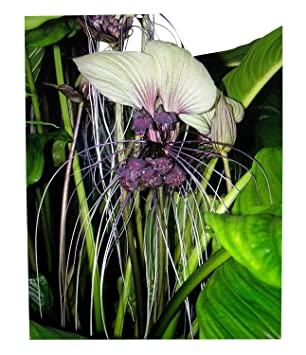 Blumen Tacca Chantrieri 5 Samen Bat Pflanze