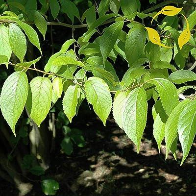 Hardy Rubber Tree Eucommia Ulmoides 5, 10 Seeds : Garden & Outdoor
