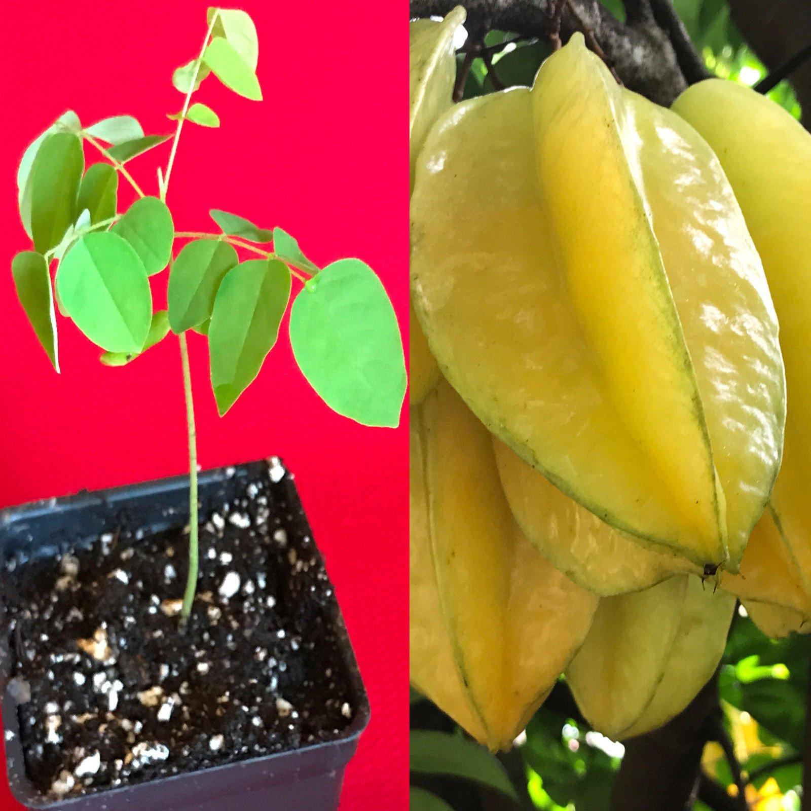 Star Fruit Averrhoa Carambola Bell Seedling Potted Starfruit Plant Tree