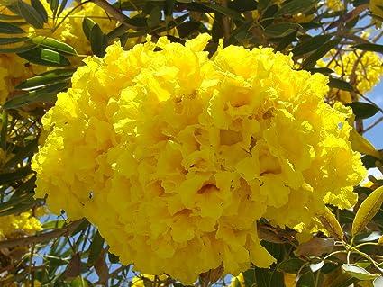 Amazon 10 golden yellow flowering trumpet tree tabebuia 10 golden yellow flowering trumpet tree tabebuia chrysotricha seeds garden tropical exotics mightylinksfo