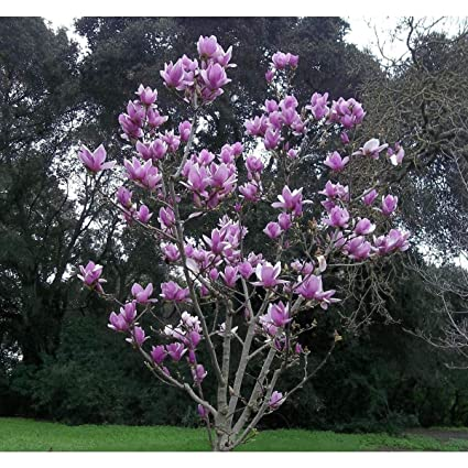Amazoncom 5 Purple Magnolia Seeds Lily Flower Tree Fragrant Tulip