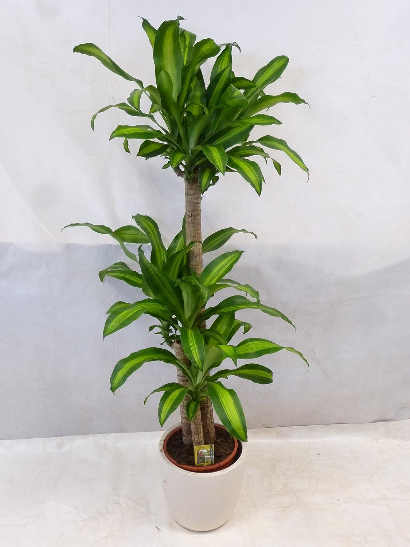 - Dracaena marginata 150//160 cm Palmenlager Drachenbaum 3er Tuff //// Zimmerpflanze
