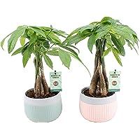 Plantas de interior de Botanicly – 2 × árbol del dinero en maceta cerámica 'MINT-MOSAIC' como un conjunto – Altura: 45…