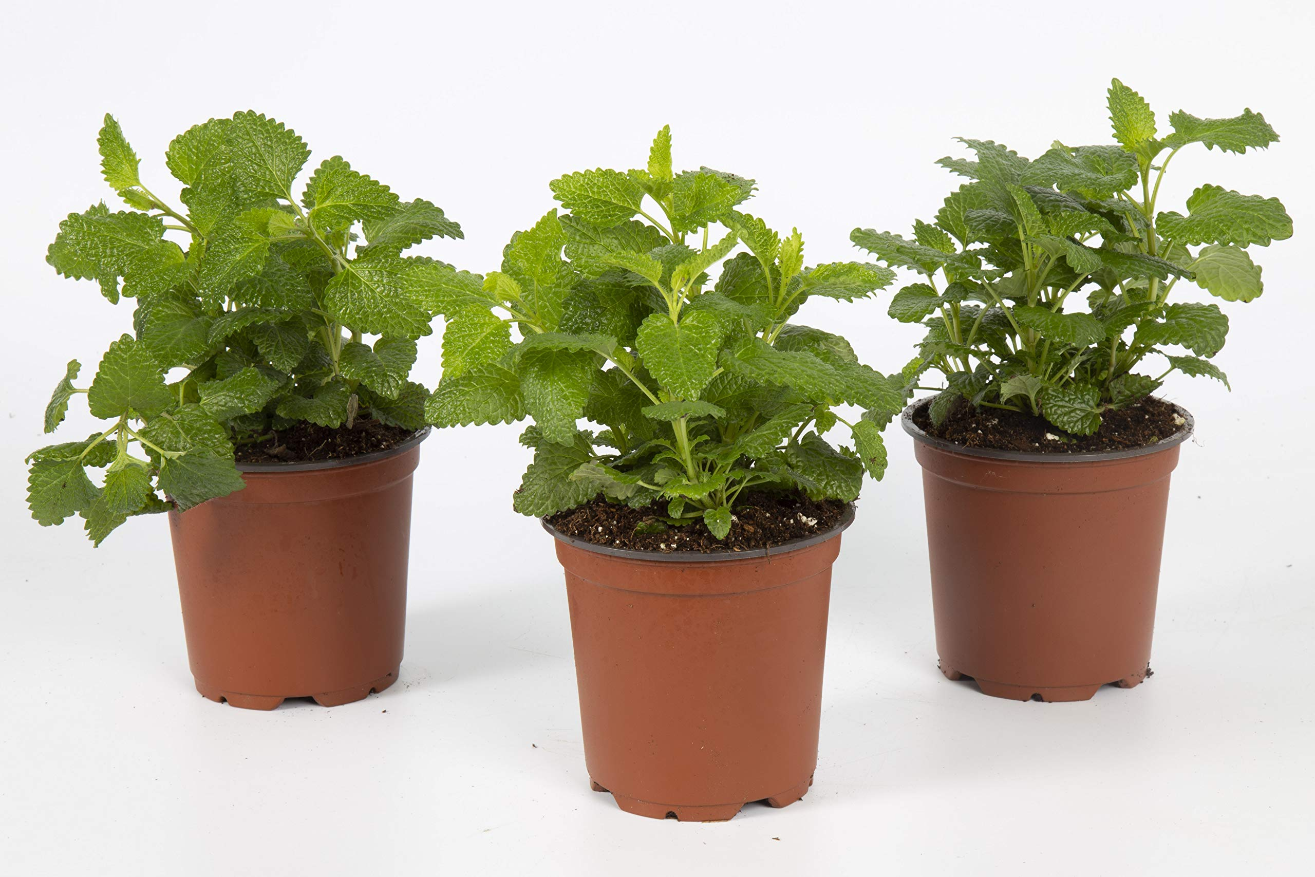 The Three Company Healthy Live 4'' Lemon Balm (3 Per Pack), 1 Pint Pot, Natural Stress Reliever by The Three Company