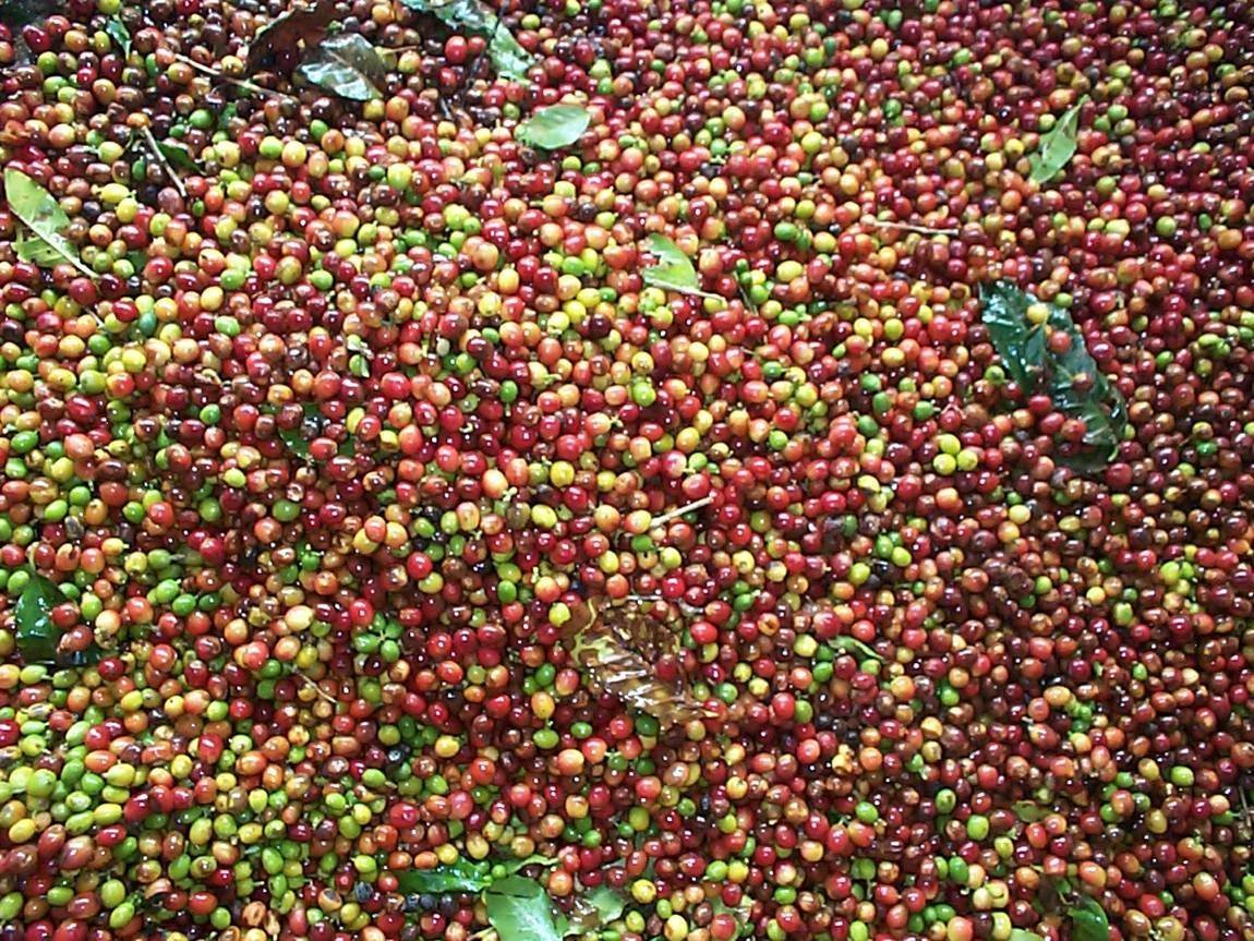 Fine International Coffees, up to 50 Pounds, Unroasted, Green Beans (Brazil Cerrado Arabica Natural 17/18 Coffee Beans, 30 pounds) by RhoadsRoast Coffees (Image #9)