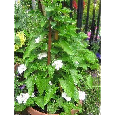 200 Black-eyed Susan vine (Thunbergia Alata-White) HEIRLOOM SEEDS : Garden & Outdoor