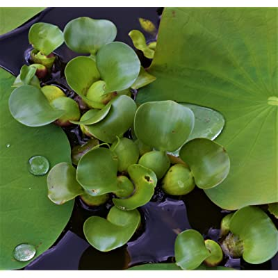 1 LIVE Violet Purple Water Hyacinth Floating Koi Pond Plant water filtering : Garden & Outdoor