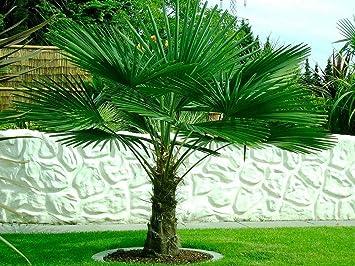 40cm Tall 17cm Pot Trachycarpus fortunei Palm Tree Chusan Palm Windmill Palm