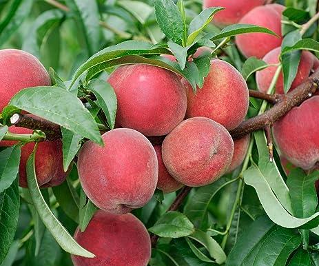 Red Haven Dwarf Peach Tree, Healthy Trees   1 Each
