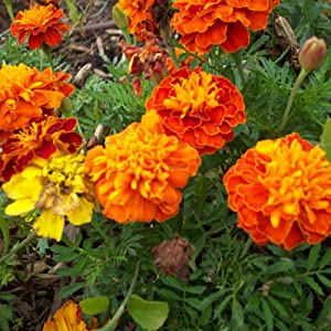 French Marigold Flower Garden Seeds - Petite Mixture - 4 Oz - Annual Flower Gardening Seeds - Tagetes patula