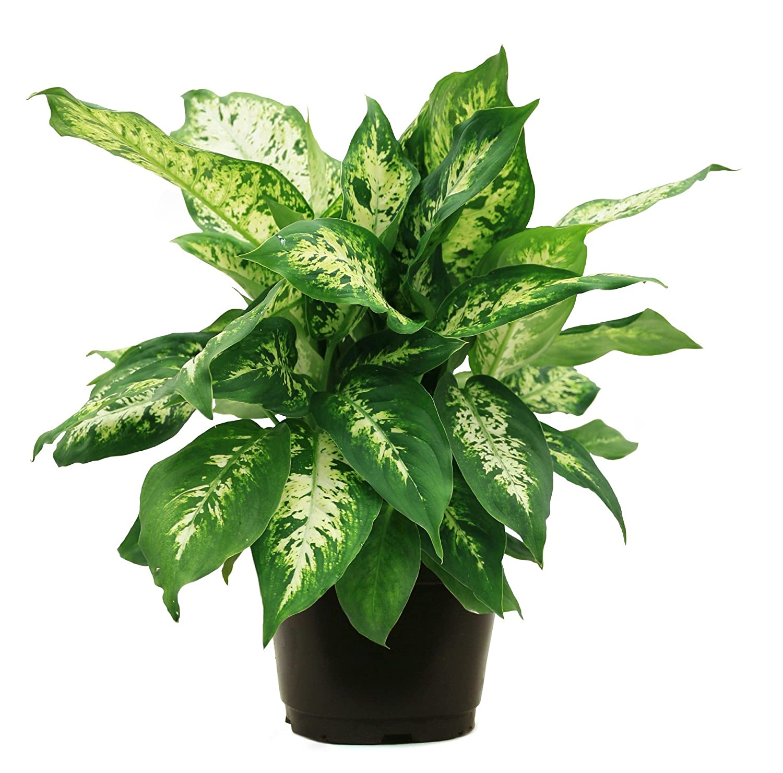 Cozy looking boho room steal that interior 2 lavorist for Planta ornamental venenosa dieffenbachia