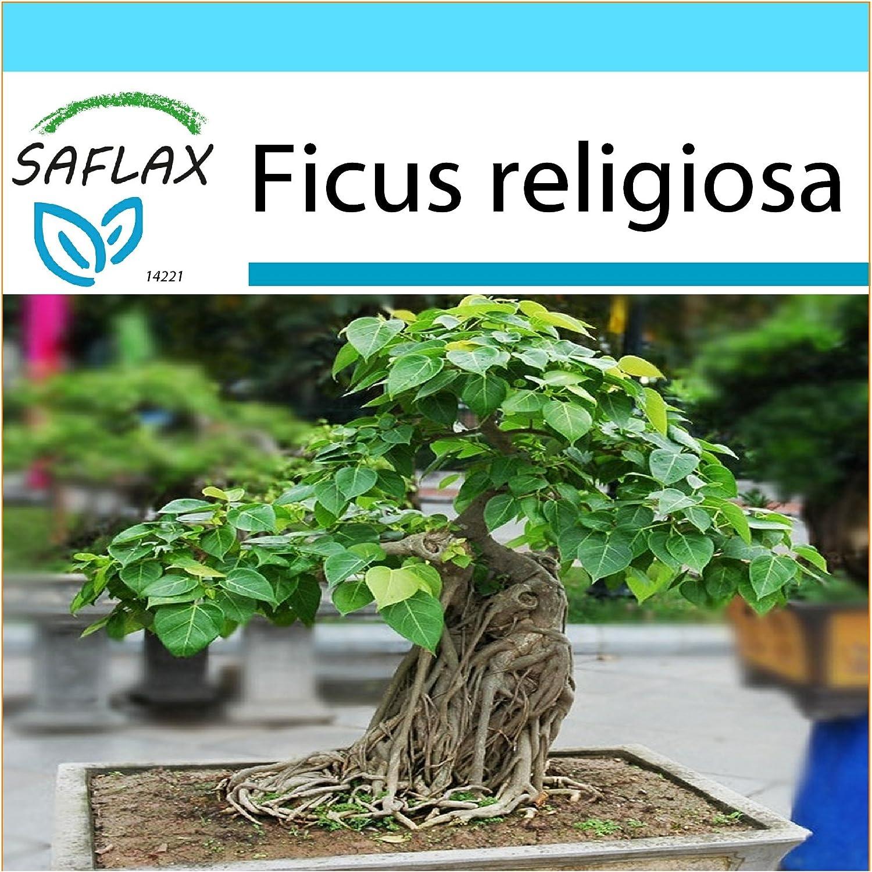 SAFLAX - Set regalo - Higuera sagrada - 100 semillas - Con caja regalo/envío, etiqueta para envío, tarjeta de felicitación y sustrato de cultivo y fertilizante - Ficus religiosa