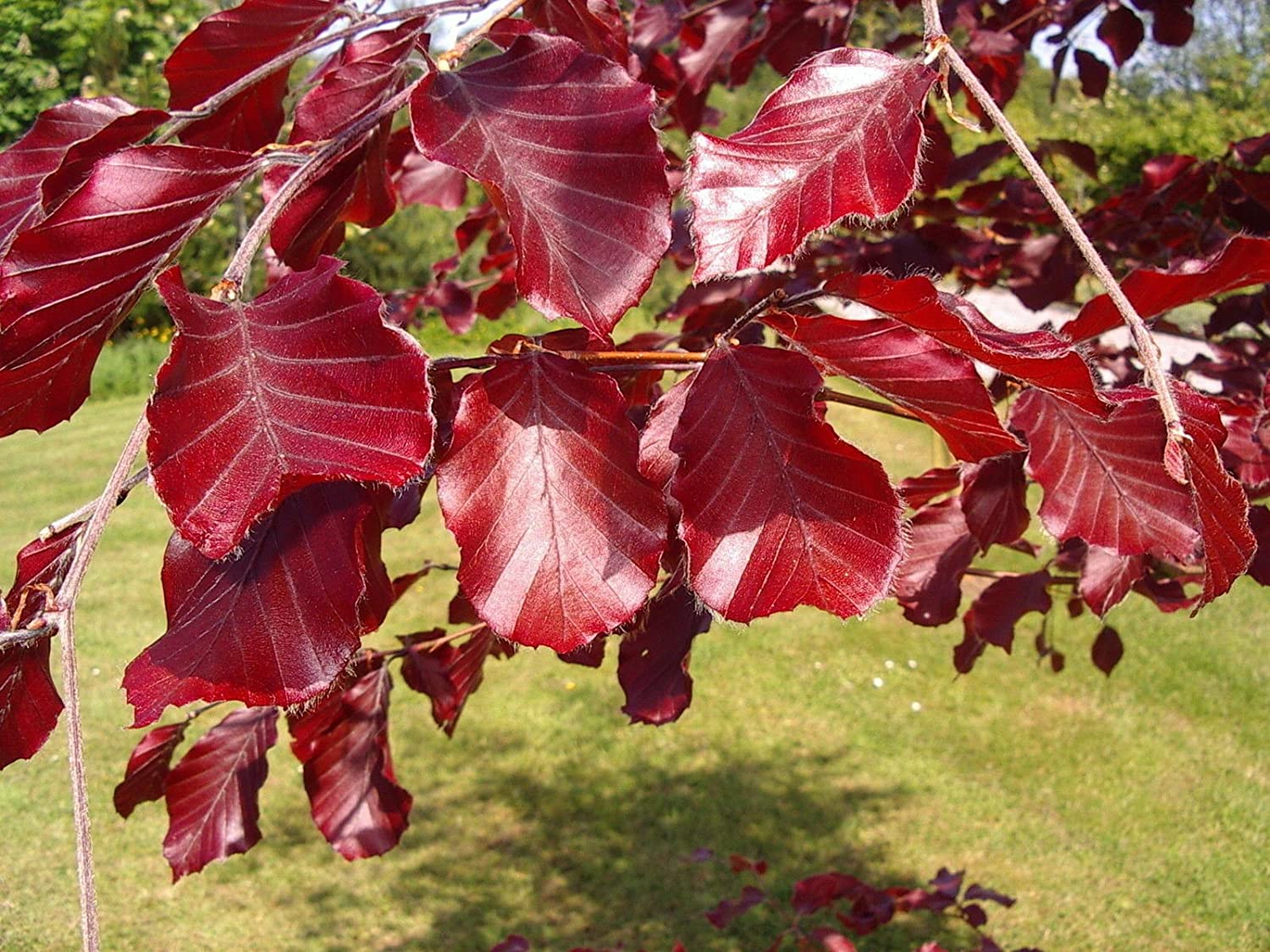 1 Copper Purple Beech 3-4ft Hedging Tree in 2L Pot, Stunning All Year Colour 3fatpigs® beechwoodtrees 3fatpigs®