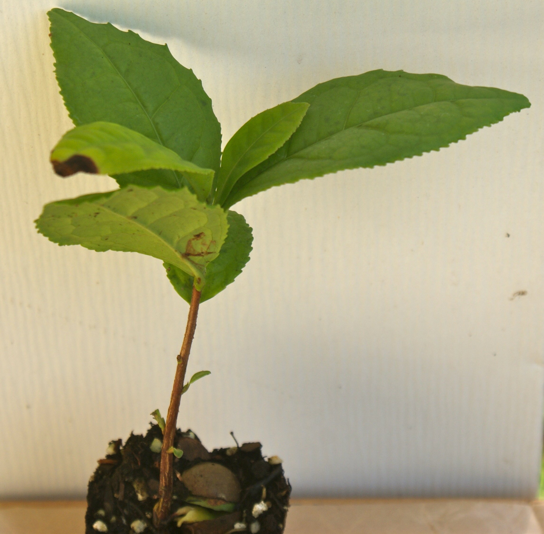 Camellia Sinensis ~ Green Tea ~ Live Plant (1)