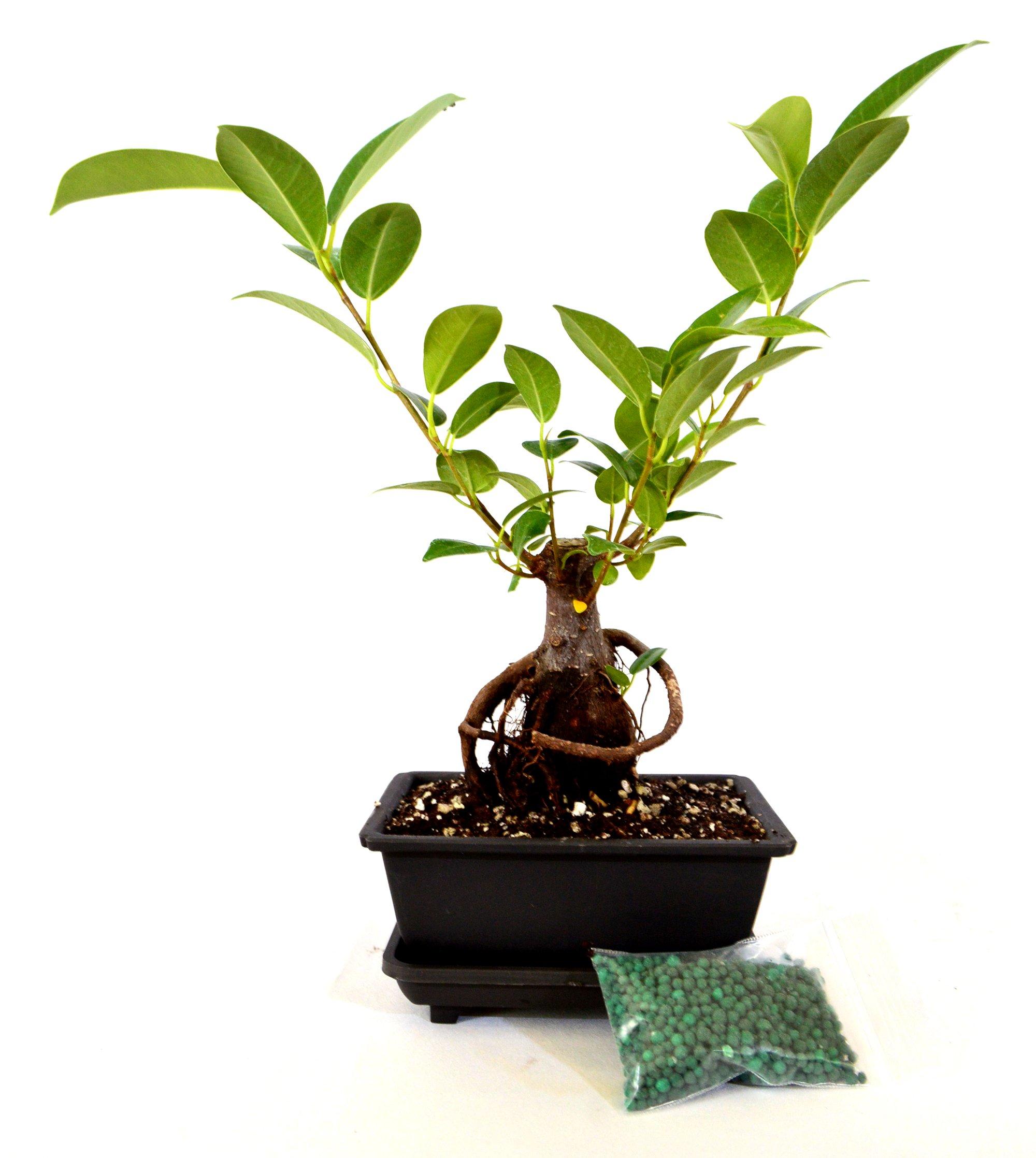 9GreenBox - Live Ginseng Ficus Bonsai Tree Bonsai - Small Ficus Retusa - Water Tray & Fertilizer Gift