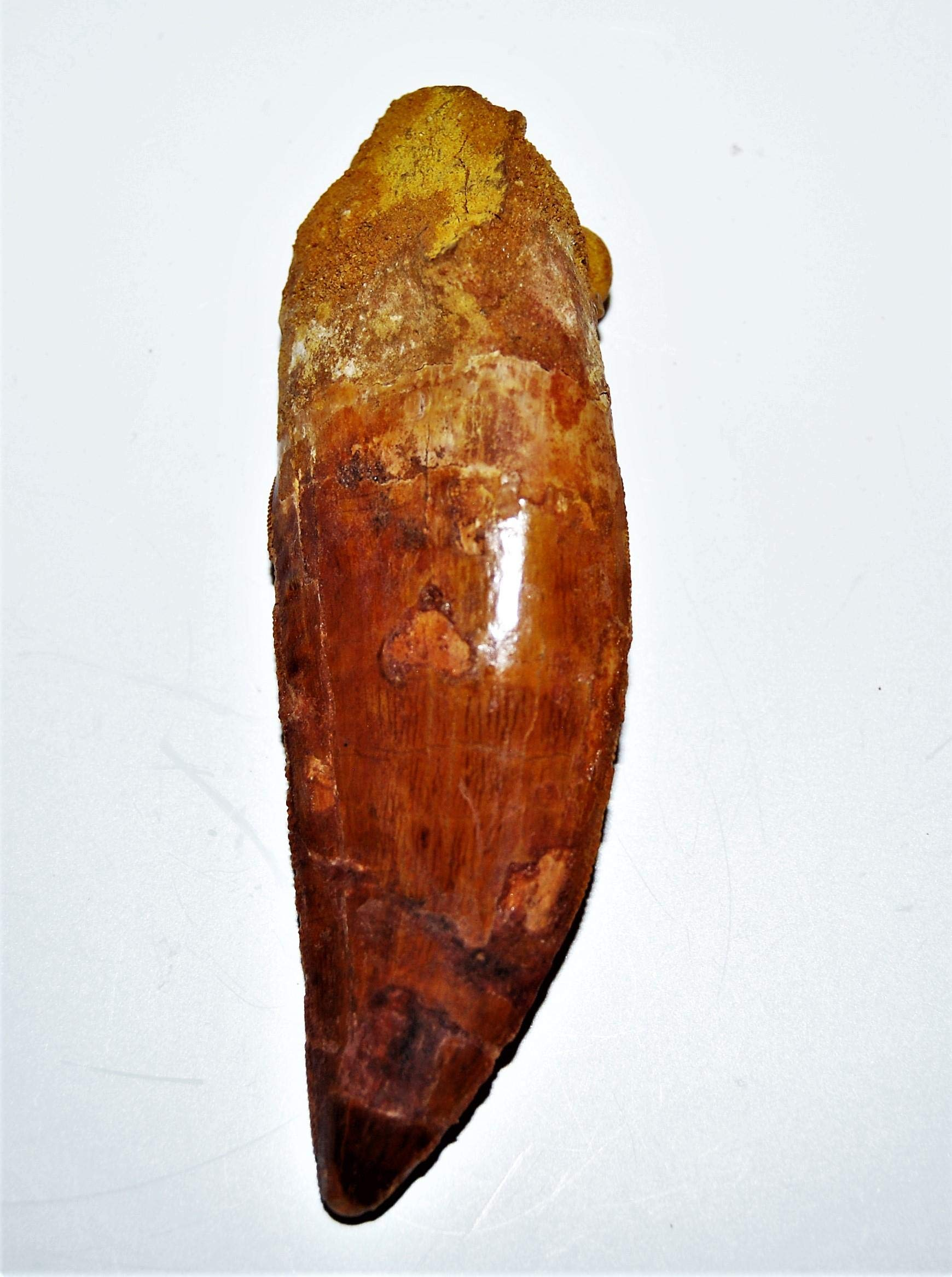 Carcharodontosaurus Dinosaur Tooth 4.087'' Fossil African T-Rex XLDB #14163 22o by Fossils, Meteorites, & More (Image #3)