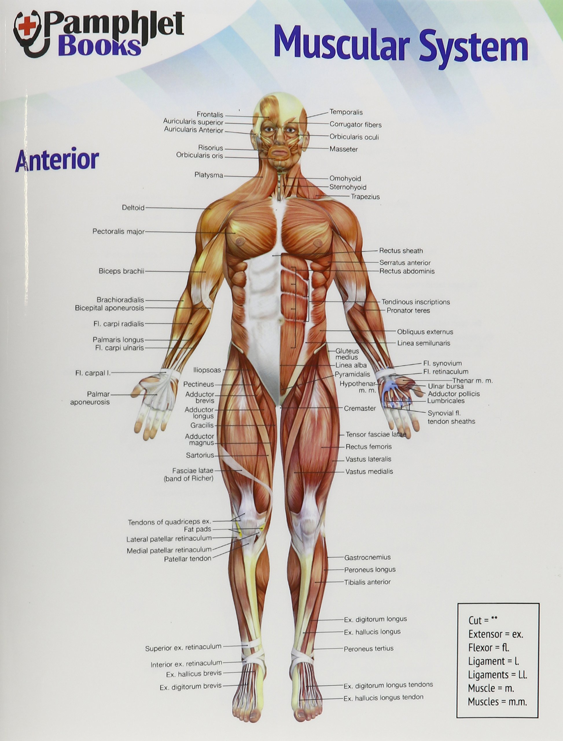 Muscular System Pamphlet Brochure Quickly Learn The Human Anatomy