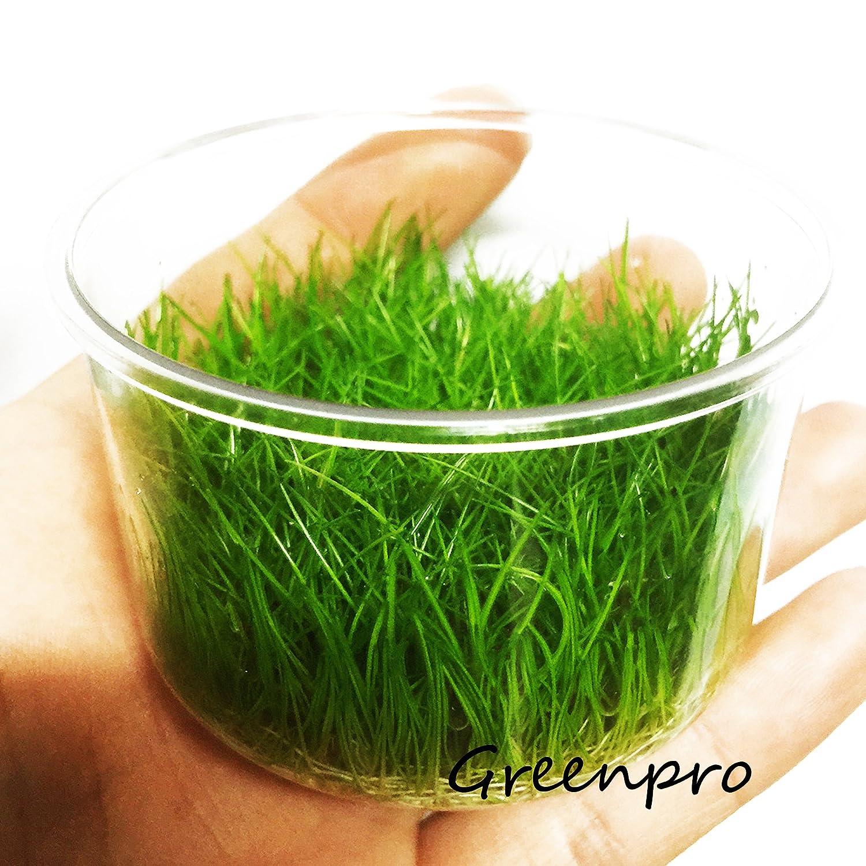 Amazon Dwarf Hairgrass Live Aquarium Plants Tissue Culture Cup