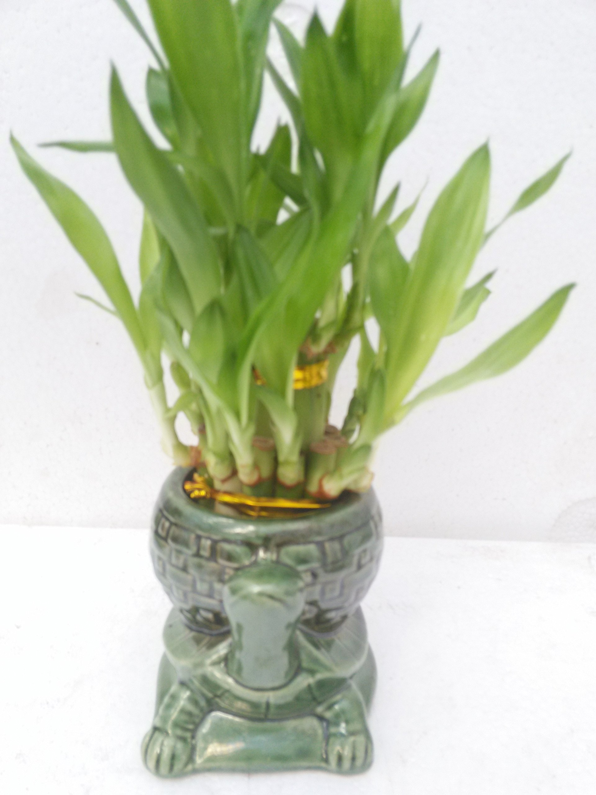 jmbamboo-Two Tiered Lucky Bamboo Arrangement Turtle Family Favor-from jmbamboo