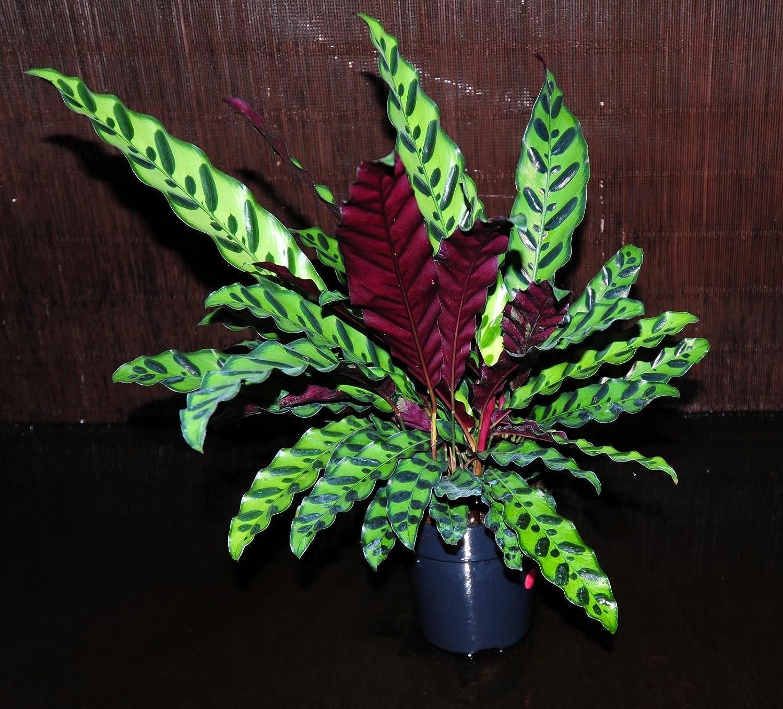 "GORGEOUS Calathea Prayer Plant /'Rattlesnake Lancifola/' LARGE 8/"" Shipped in Pot"