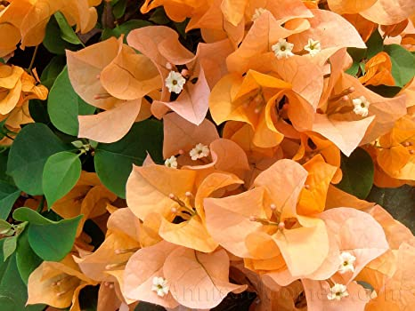 Amazon bougainvillea california gold 2 4 inch pots golden bougainvillea california gold 2 4 inch pots golden yellow flowers annies bloomer mightylinksfo