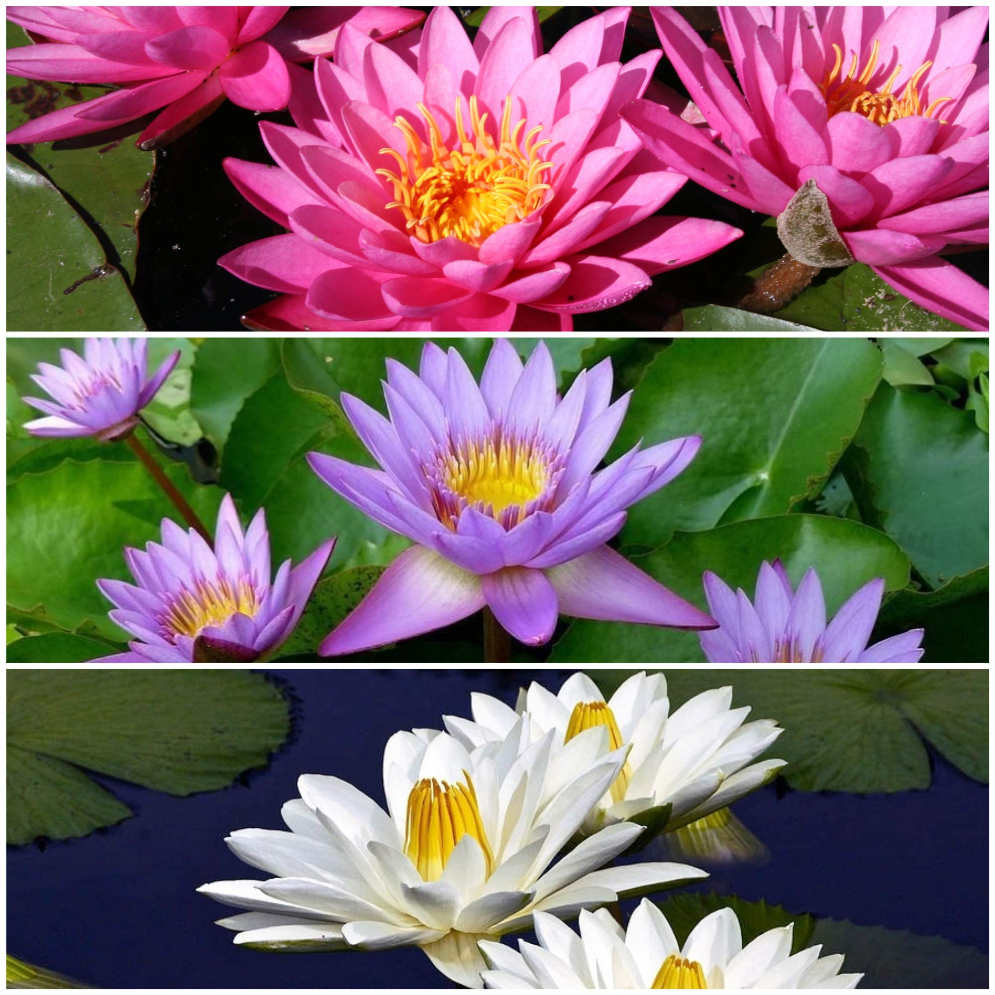 Tropical Water Lily Bundle - 3 Pre-Grown Rhizomes in White, Red, and Purple