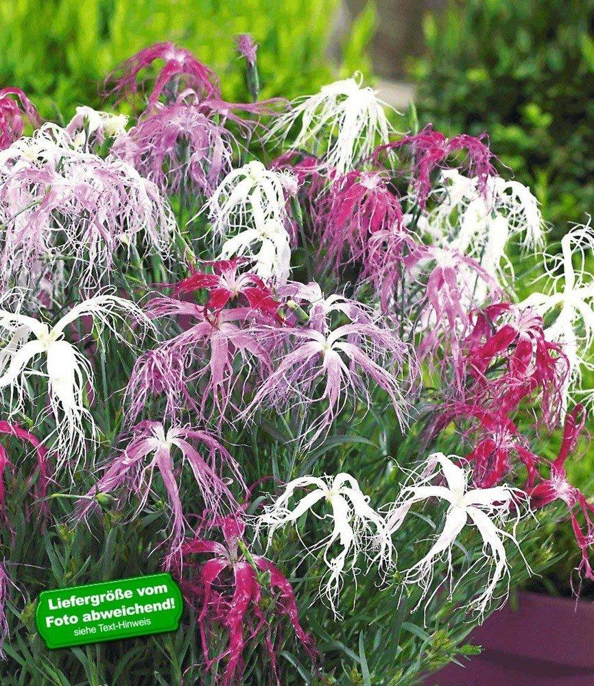 BALDUR Garten Dianthus Dancing Geisha Nelken 3 Pflanzen Amazon