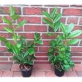 Kirschlorbeeren 70-100cm Heckenpflanzen Kirschlorbeer Rotundifolia 15 St