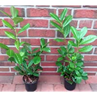 40 Kirschlorbeer Pflanzen, Höhe: 40-50 cm ab Topf, Prunus laurocerasus Rotundifolia