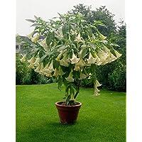 Blanco Datura Seeds, Brugmansia Ángel trompetas, Semillas Bonsai flor del árbol de 10 partículas / lot