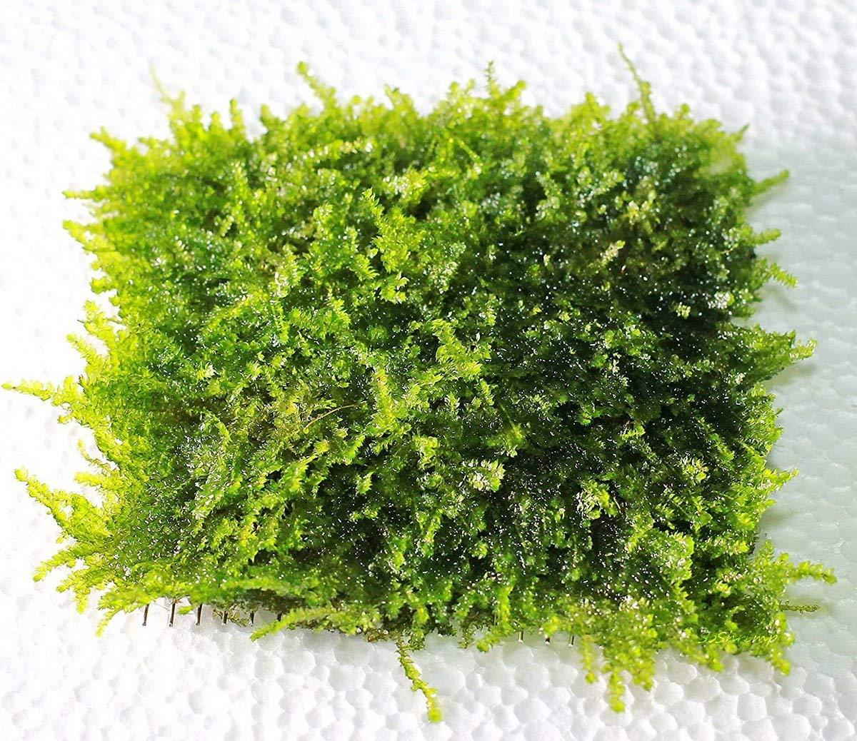 Christmas Moss Carpet.Soshrimp Mini Christmas Moss Mesh Pad Vesicularia Sp Live Aquarium Plant