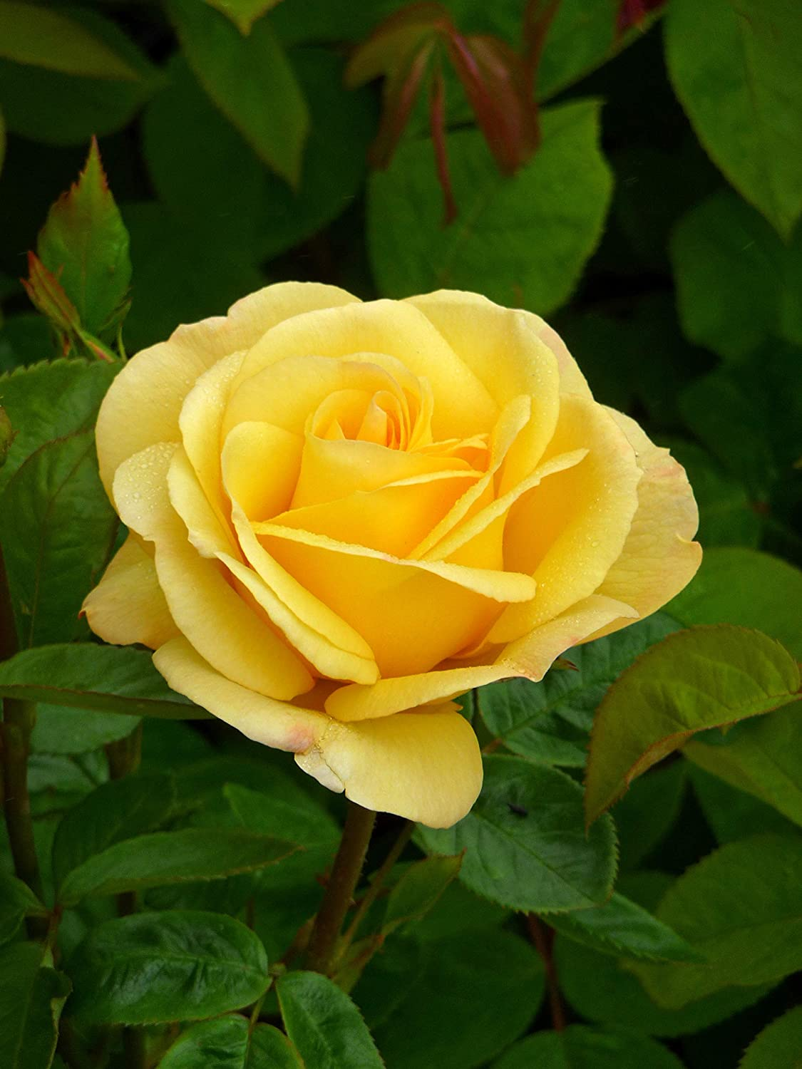 A Superb Plant /& Flower Gift to Send to Mum,Mom,Her,Women,Personalised Gift for Jane for Birthdays /& All Occasions Rose Our Jane