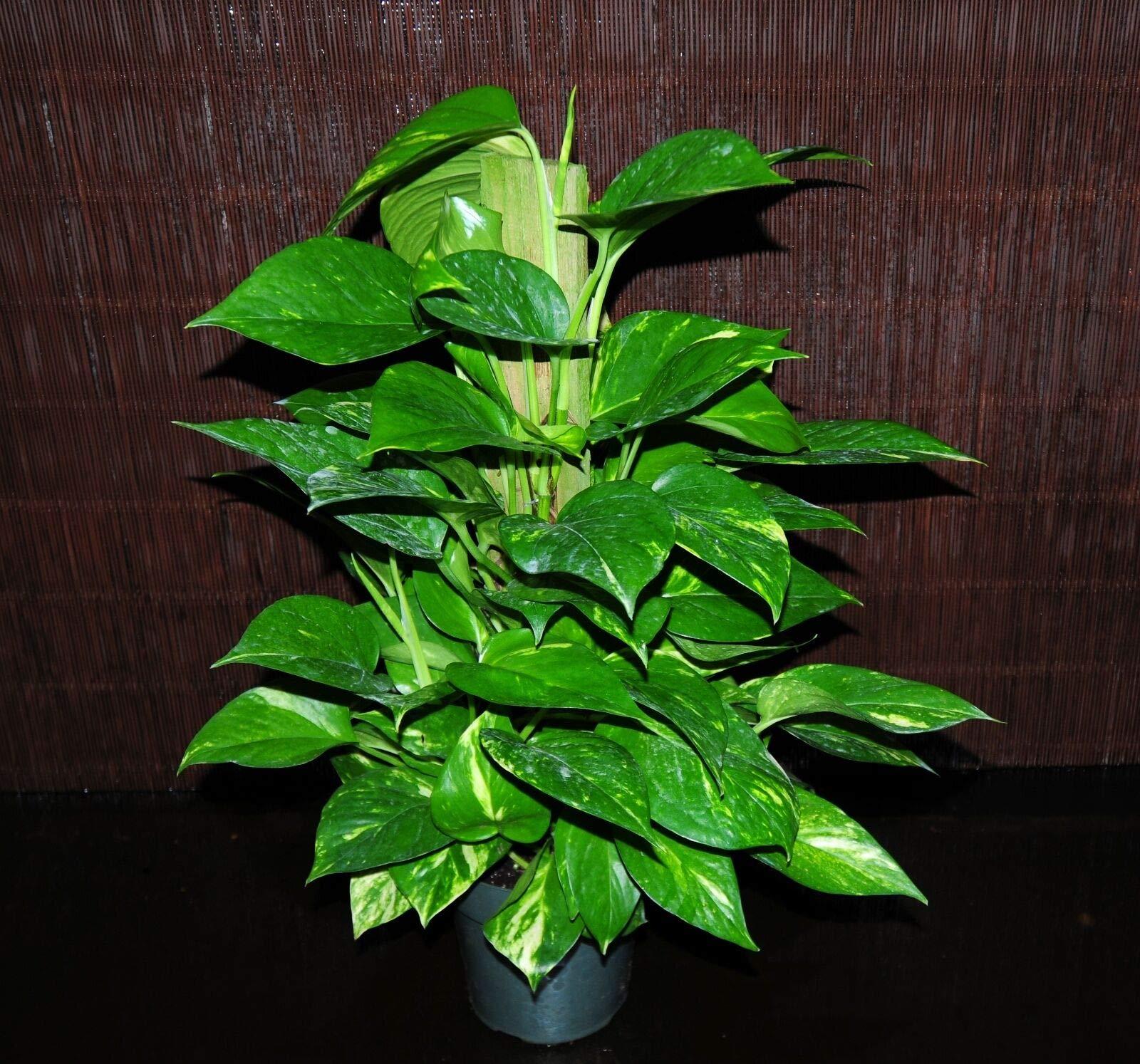 Golden Pothos 6'' Totem Pole~ Tropical Vining House Plant Super Large & Full (Premium Quality) by AY-Premium