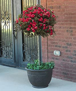 Aiden Gardens Red Climbing Rose Plant Rosa Multiflora