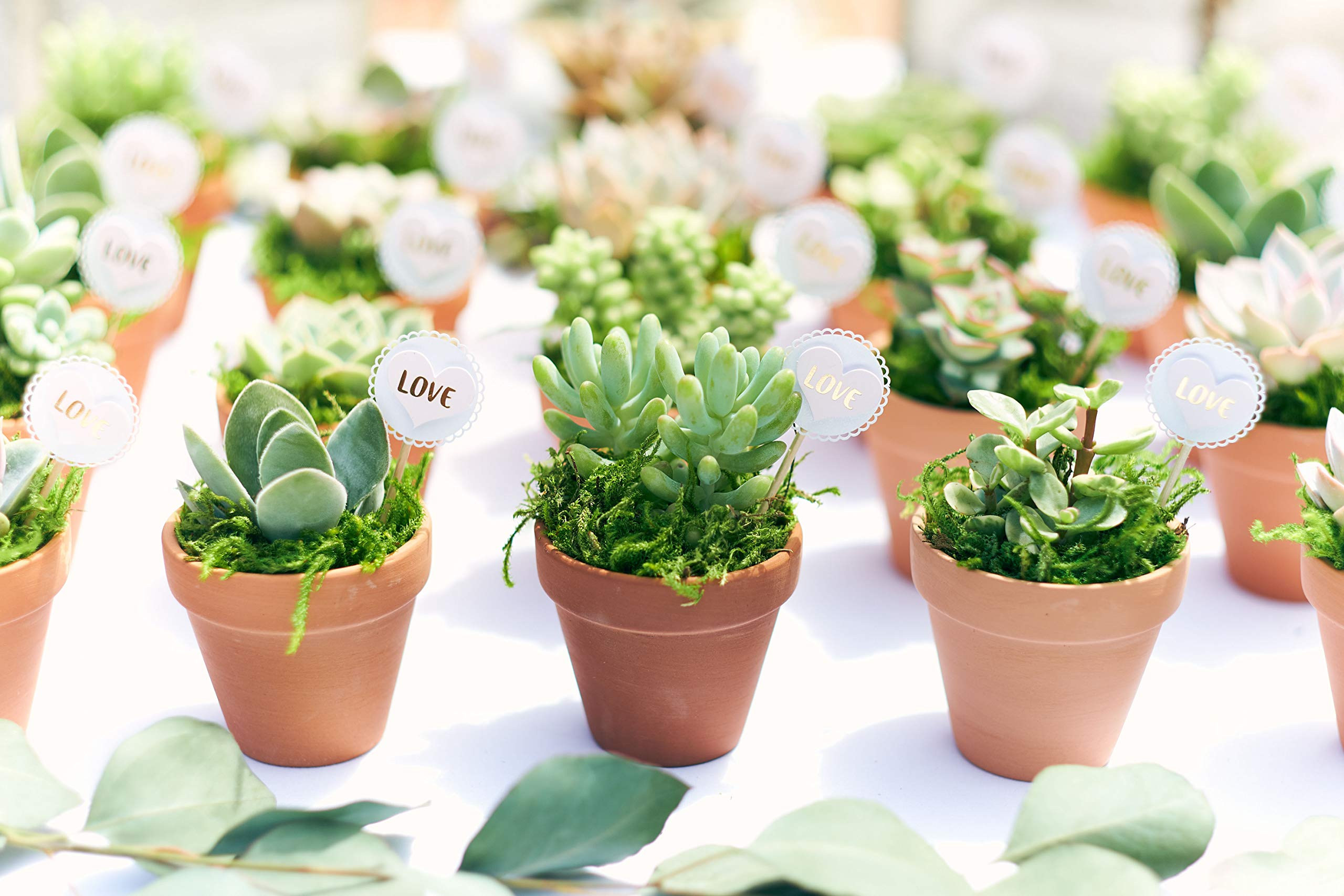 Shop Succulents  Premium Pastel Collection of LiveSucculent Plants, Hand Selected Variety Pack of Mini Succulents   Collection of 12 in 2'' pots by Shop Succulents (Image #5)