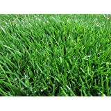 Amazon Com Emerald Zoysia Zoysia Emerald Grass Seeds 1