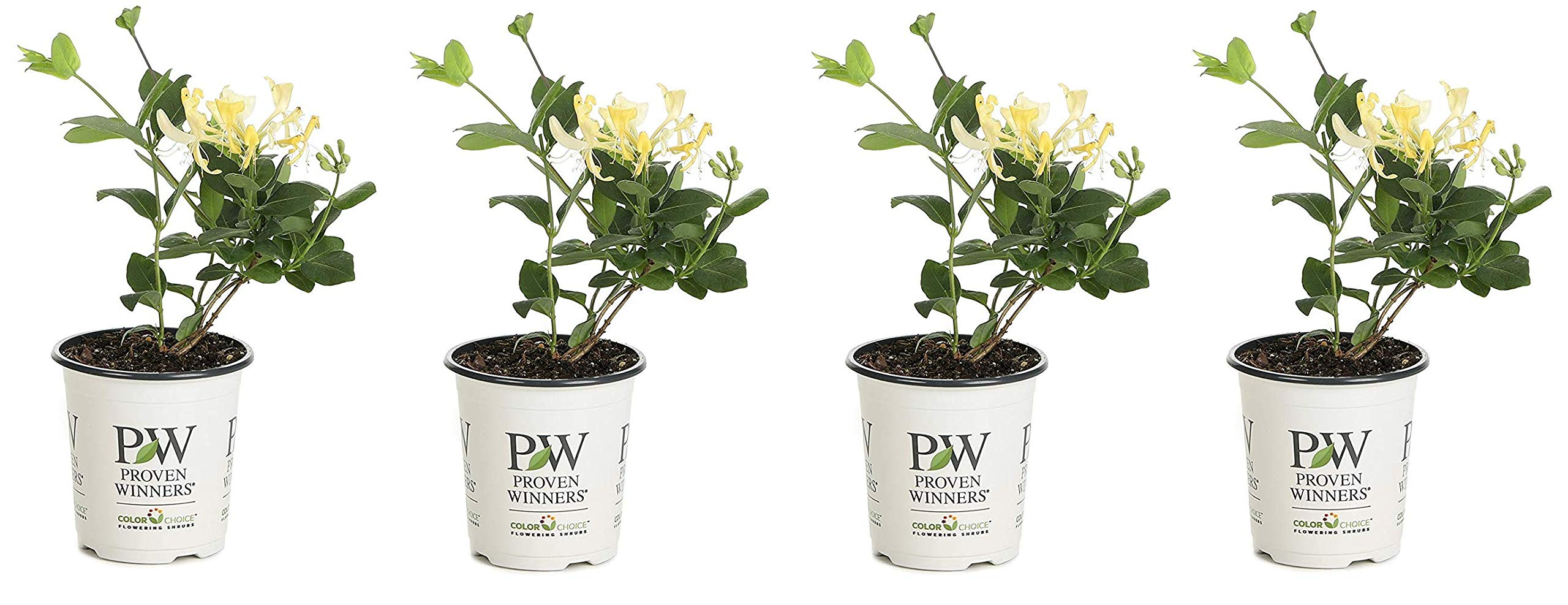 4.5 in. qt. Scentsation Honeysuckle (Lonicera) Live Shrub, Yellow Flowers and Red Berries (Fоur Расk) by Proven Winners (Image #1)