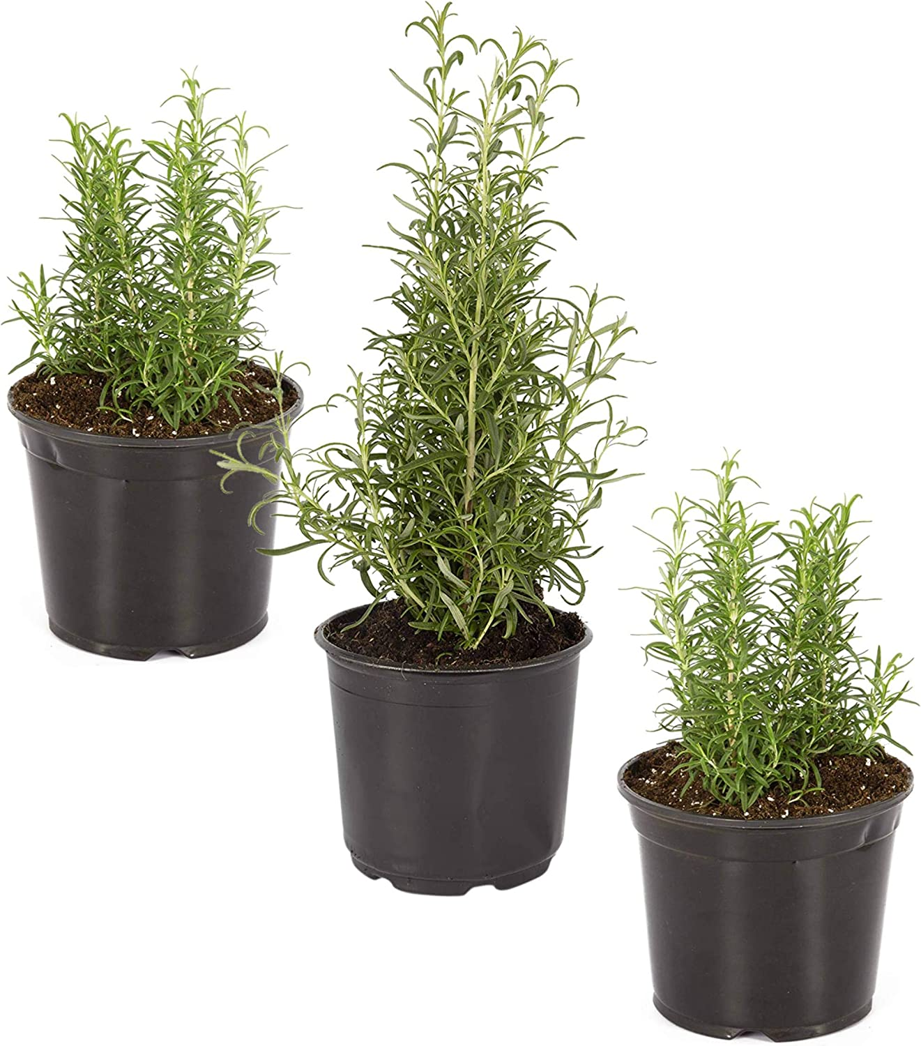 """The Three Company Live Rosemary Herb (3 Per Pack) Aromatic and Edible Plant, Naturally Boosts Immune System, 4.5"""" Pot"""