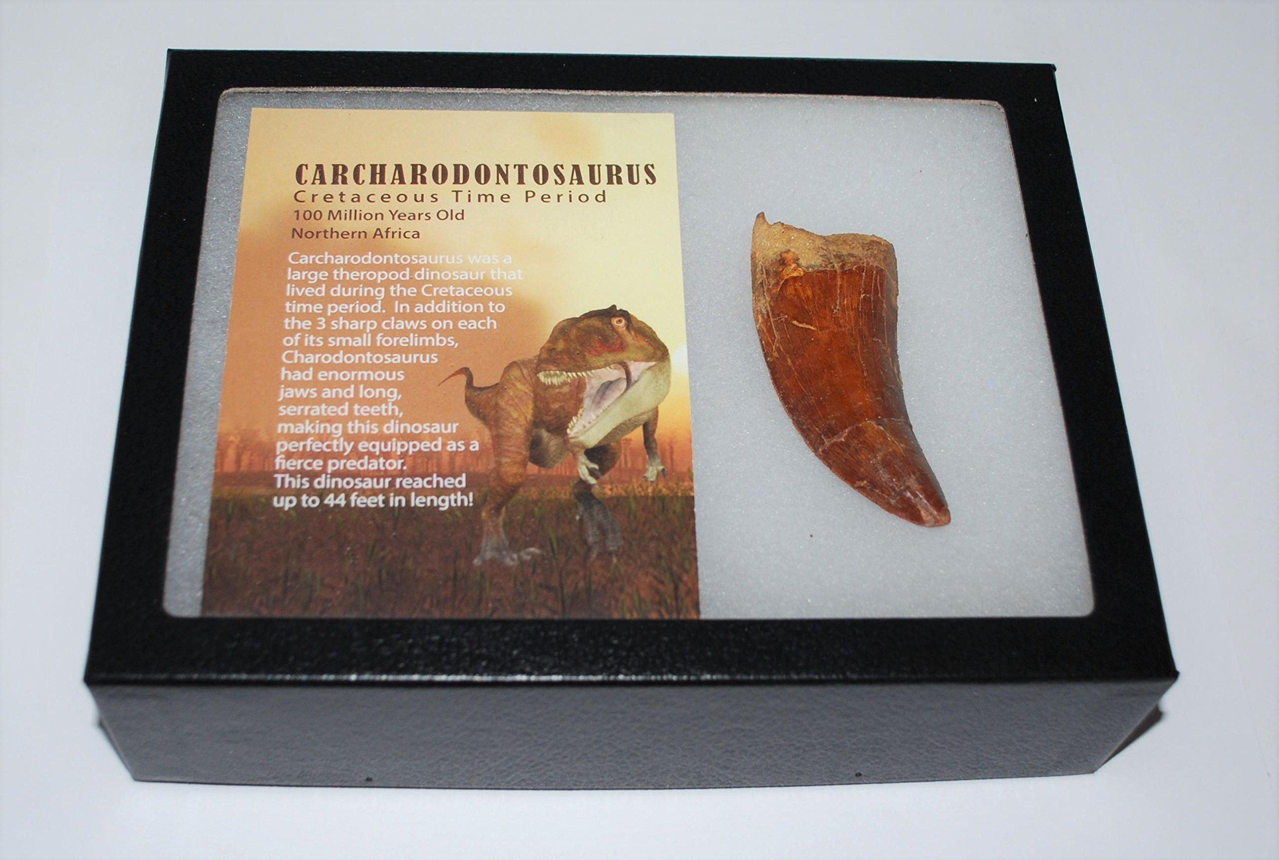 CARCHARODONTOSAURUS Dinosaur Tooth 3.05'' Fossil African T-Rex XLDB #2849