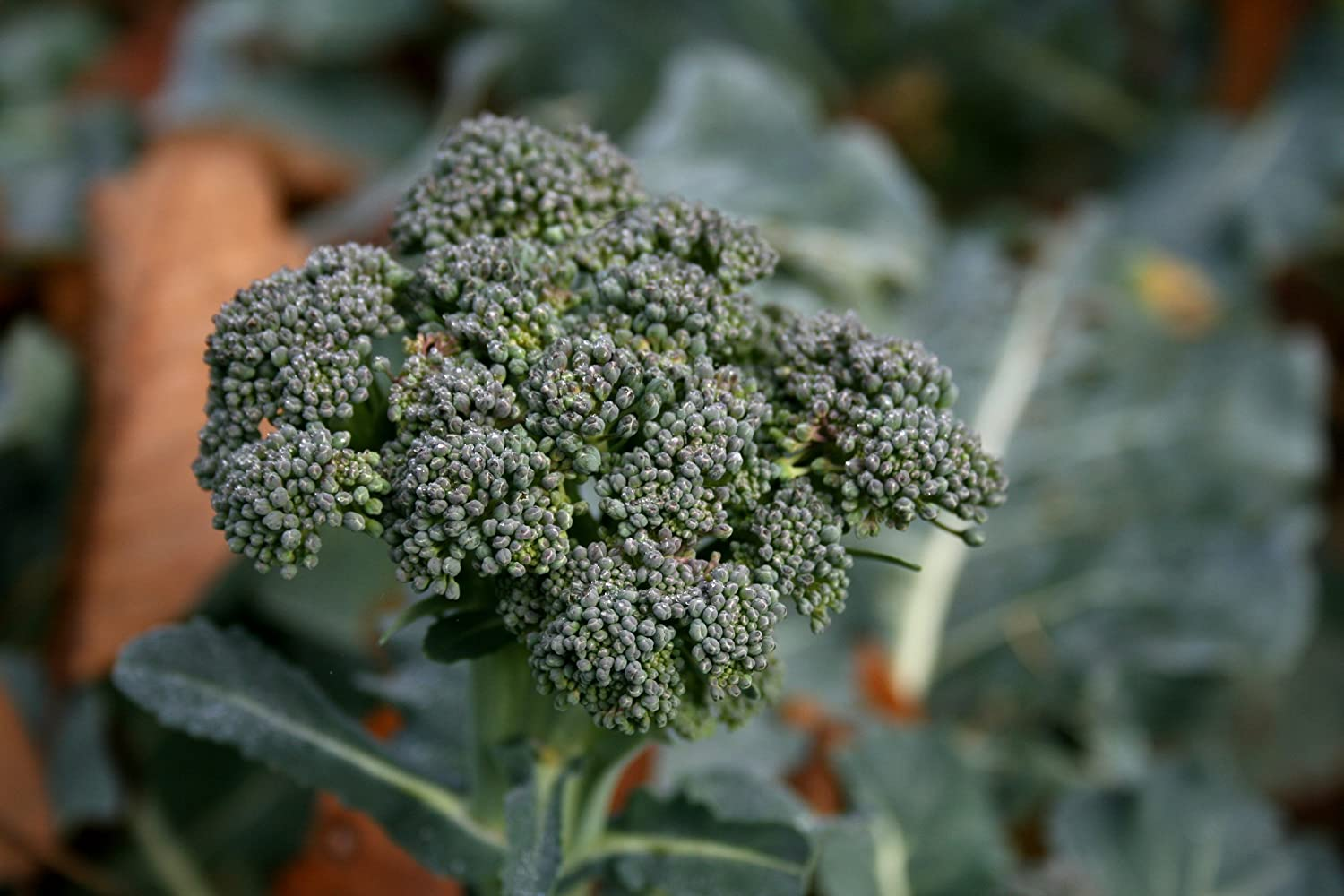 3.0+g Gaeas Blessing Seeds Organic Waltham 29 Broccoli 500+ Organic Seeds Non-GMO Open Pollinated 94/% Germination Rate Waltham 29 Net Wt