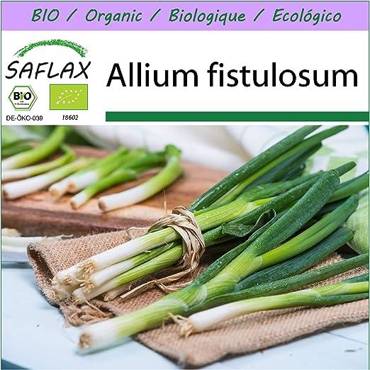 SAFLAX - Ecológico - Cebolla tierna - Ishikura japonés - 150 ...