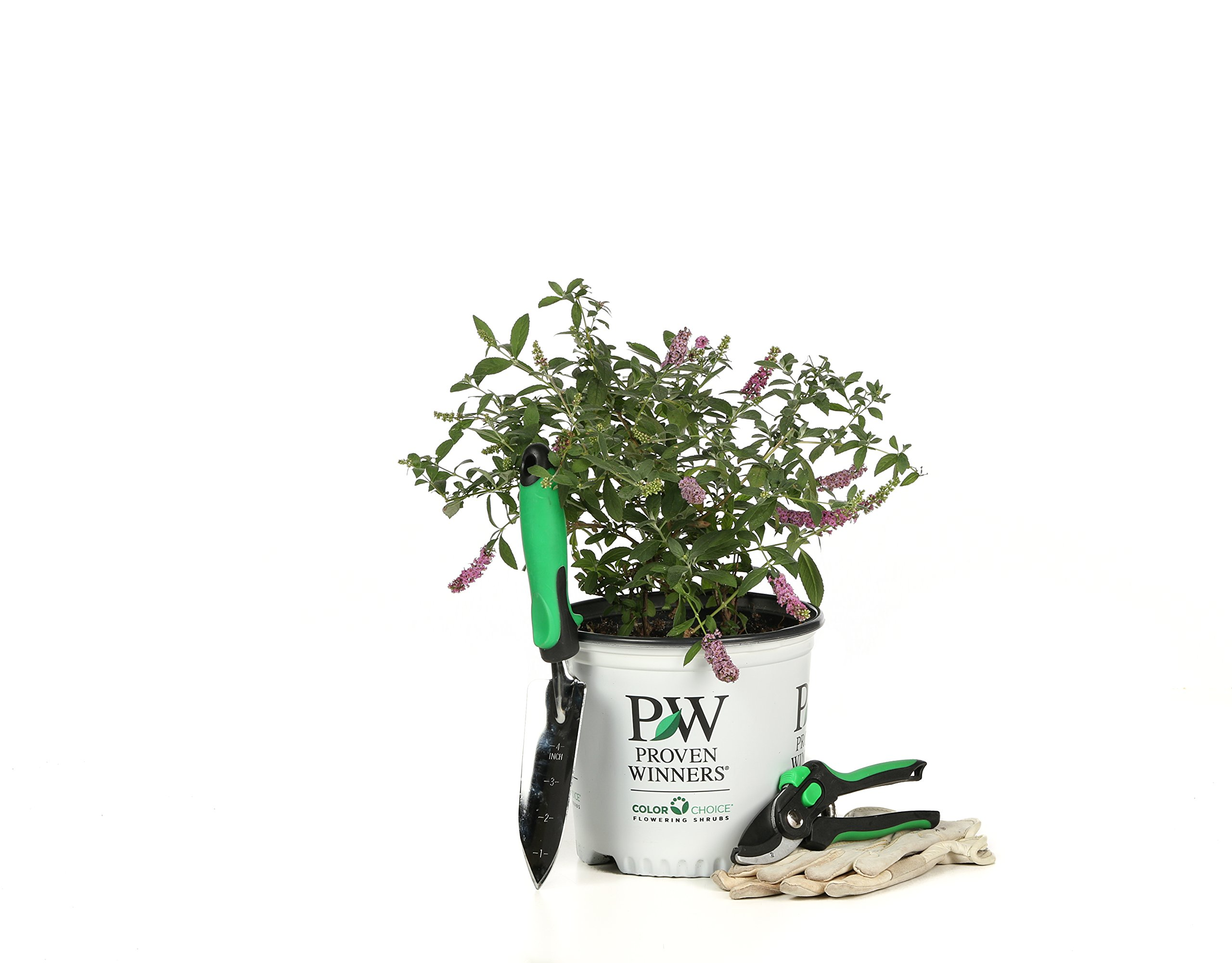 1 Gal. Lo & Behold 'Pink Micro Chip' Butterfly Bush (Buddleia) Live Shrub, Pink Flowers by Proven Winners (Image #8)