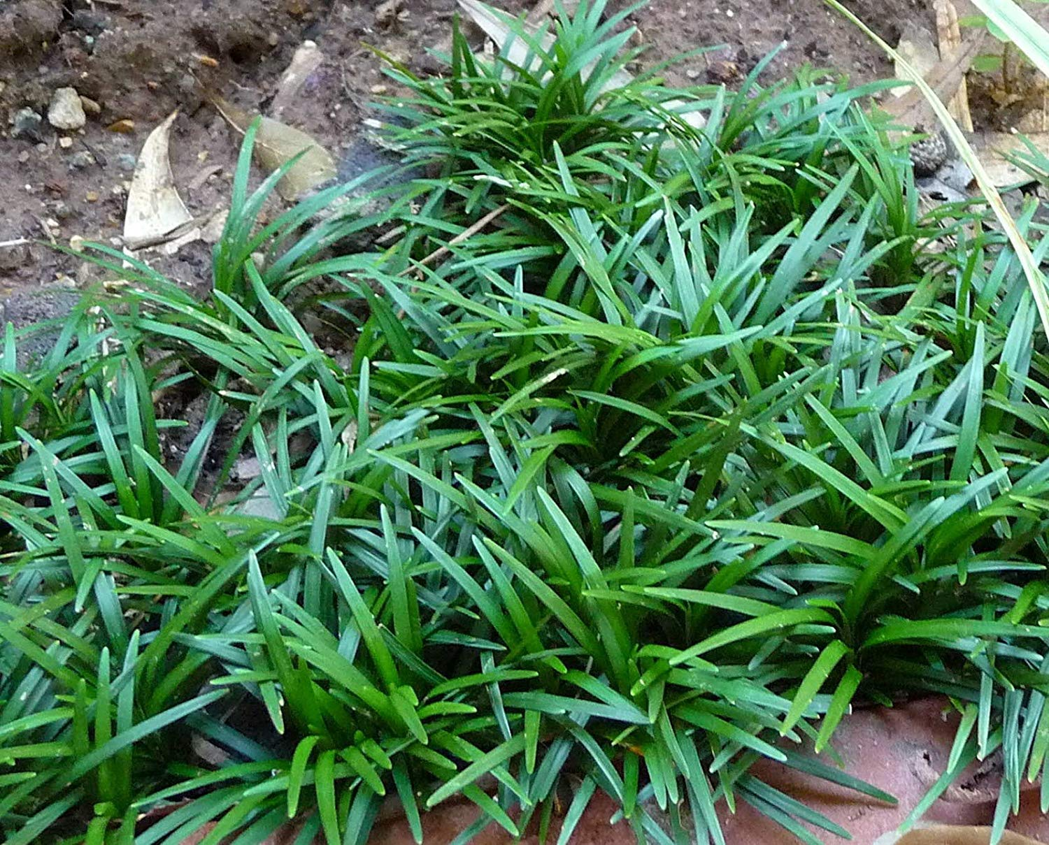 "Picture of Live Dwarf Mondo Grass aka Ophiopogon Jap "" Nana "" Plant Fit 1 Gallon Pot"