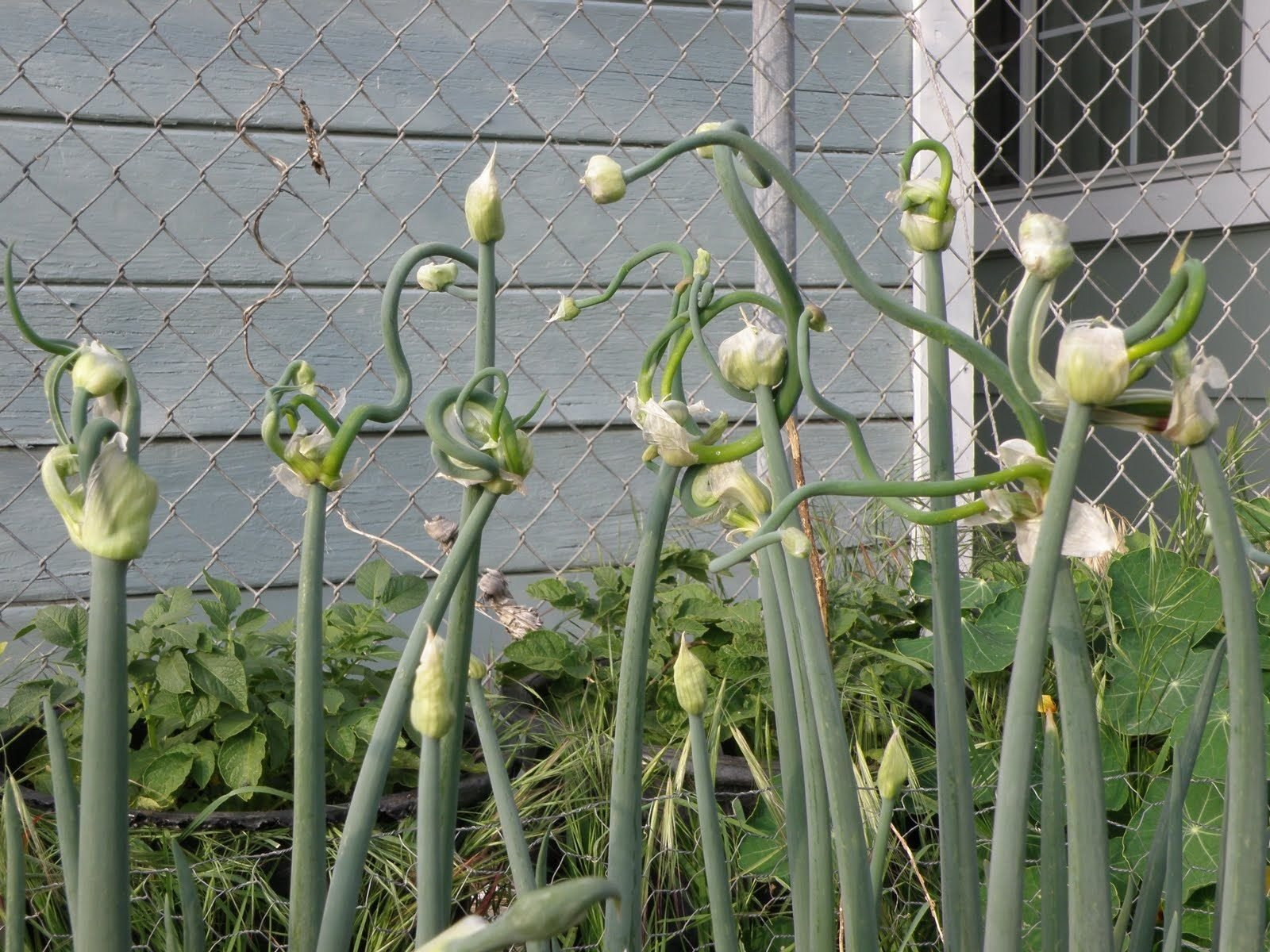 Heirloom Egyptian Walking Onions ★Catawissa Tree Onion ★NON GMO ★ 10 Bulbils
